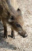 The Small Wild Boar Close Up Portrait