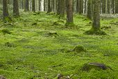 image of floor covering  - A forest with trees stubs and a moss - JPG