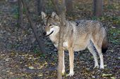picture of lupus  - European grey wolf (Canis lupus) in a forest ** Note: Visible grain at 100%, best at smaller sizes - JPG