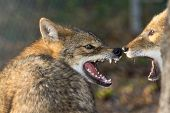 foto of jackal  - Golden jackals  - JPG
