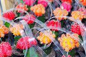 Top grafting decorative succulents