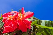 bright red flower on tropical palm tree leaves and blue sky background