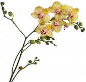 Beautiful flower Orchid, phalaenopsis  isolated on white background