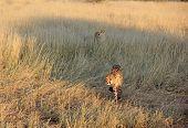 Cheetahs, Namibia