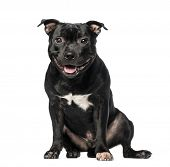 Staffordshire Bull Terrier (9 months old)