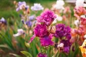 stock photo of gladiola  - Gladiolus in perennial garden on sunny day