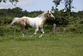 foto of paint horse  - Horse with fine bridle Palomino paint galloping on meadow - JPG