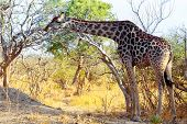 Adult Giraffe Grazing On Tree