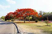 Delonix Regia (flamboyant) Tree With Blue Sky.