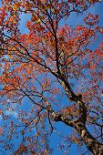Big tree and red leaf in autumn season