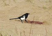 Magpie Feeding On Seal Afterbirth