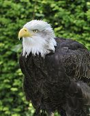 Northern Or Alaskan Bald Eagle