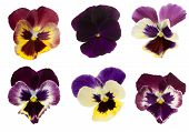 stock photo of six-petaled  - Six different Viola - JPG