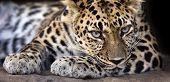 Amur leopard banner