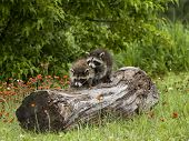 Two Raccoons Exploring a Log