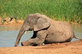 A playful young  African elephant (Loxodonta africana) at a waterhole, Addo Elephant National Park, South Africa