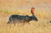 Scrub hare (Lepus saxatilis) among grass, Etosha National Park, Namibia