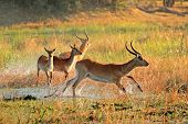 Red lechwe antelopes (Kobus leche) running through water, Kwando river, Namibia
