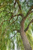 Willow tree. Salix.