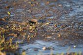 Wary Watersnake