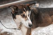 picture of sled dog  - Sled Dog Cabled to Dog Truck Waits for Race Start - JPG