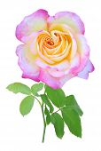 picture of single white rose  - A  pink single rose isolated on white - JPG