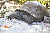 image of tortoise  - Aldabra giant tortoise eats leaves - JPG