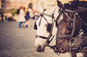 picture of black horse  - Two Horses - White And Black - Are Harnessed To A Cart For Driving Tourists In Prague Old Town Square