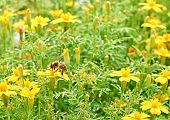 picture of flying-insect  - Bee and yellow flowers - JPG