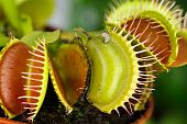 stock photo of flytrap  - Dionaea muscipula  - JPG
