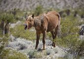 picture of yawn  - A yawning wild horse in the Nevada desert - JPG