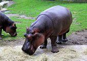 picture of hippopotamus  - Photo of a Hippopotamus in the zoo - JPG