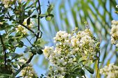 image of crepe myrtle  - Crepe myrtle blooms in morning light against a palm frond background - JPG