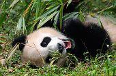 Giant panda lying on ground