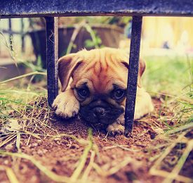 stock photo of chug  - a cute pug chihuahua mix puppy  - JPG