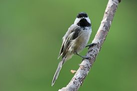 stock photo of chickadee  - A black capped chickadee (Poecile atricapillus) perching on a branch in summer. ** Note: Visible grain at 100%, best at smaller sizes - JPG