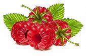 Vector illustration of ripe raspberry.