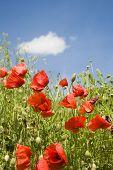 cron poppy and the sky