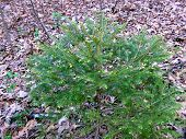 Small Evergreen Bush