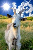 stock photo of billy goat  - billy goat on meadow sunny day - JPG