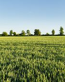 Wheat Field Landscape With Blue Sky In Rural Countryside, Uk poster