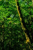 Background - Subtropical Forest, Yew-boxwood Grove With Mossy Tree Trunks poster