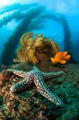 A cold water reef in California is host to a starfish, bright orange garibaldi, swaying kelp and bro