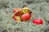 Red Juicy Apples Lie In A Wicker Basket On A Gray Background. Basket Filled With Red Apples. Outdoor poster
