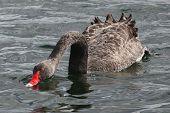 Black Swan Feeding