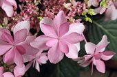 Flores de hortênsia, também chamados de Claudie hortênsia ou Hydrangea macrophylla