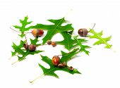 Acorns And Green Leafs Of Oak (quercus Palustris)