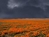 Thunderstorm looming over a bright California Poppy field.