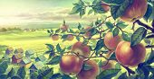 Summer landscape with apple branches.