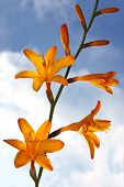 picture of crocosmia  - Spring flower on the background of sky and clouds - JPG